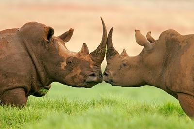 Tras la pista del rinoceronte negro (Kenia 7 noches)